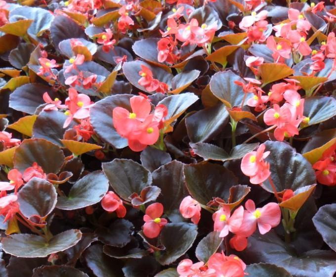 四季海棠种植基地 四季海棠批发 青州四季海棠种植