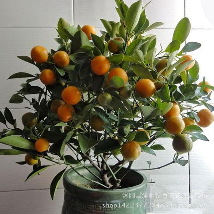 批发盆栽果树苗 当年结果 金桔树苗盆栽 橘子树苗 桔子苗量大优惠