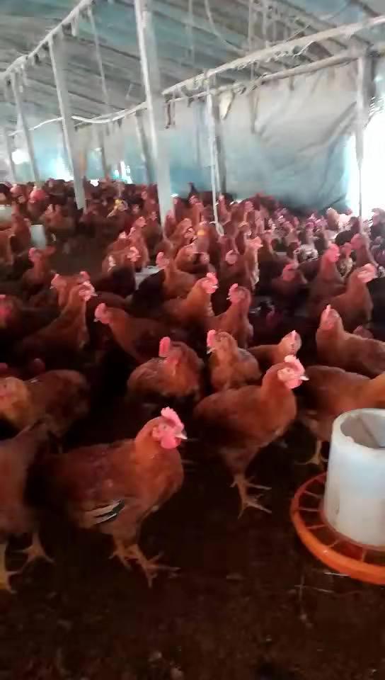 日照特價九斤紅公雞苗價格 存活率高九斤紅雞苗