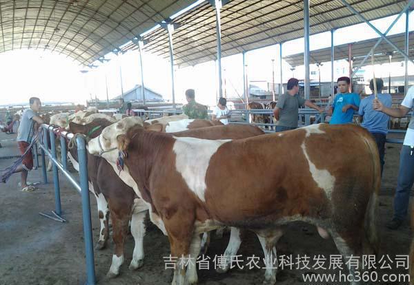 肉牛犊架子牛3