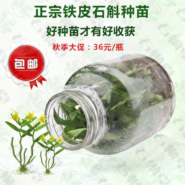 乐清基地 软脚铁皮石斛鲜条种苗  组培瓶苗未经驯化种苗