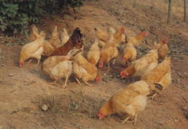 南宁哪里的土鸡正宗 茂发农夫销售正宗土鸡