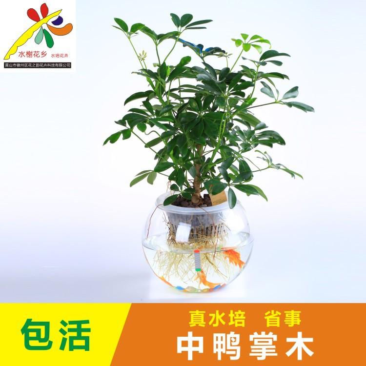 水榭花乡水养水培植物中鸭掌木七叶莲办公室内桌面创意绿植盆栽图片