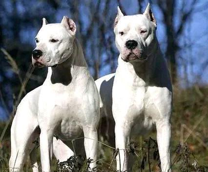 2017年纯种杜高犬价格