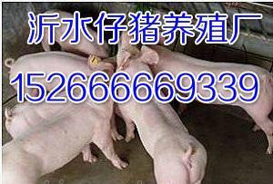 山东小猪销售价格猪苗多钱一头
