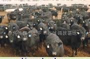 安格斯牛 海福特牛