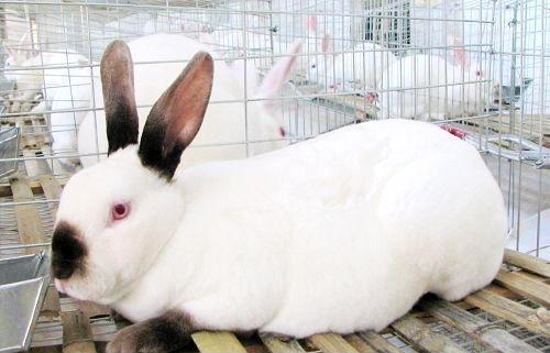 獭兔最新行情_大地最新兔子品种价格_獭兔市场行情_獭兔养殖基地_獭兔价格