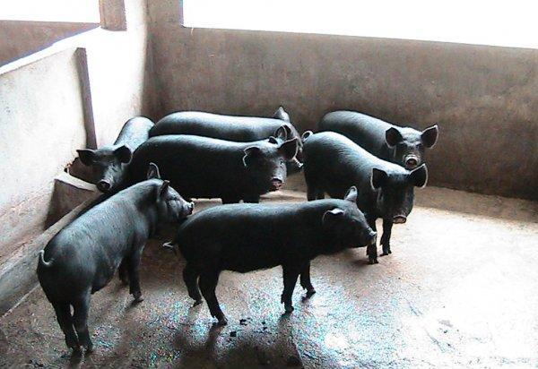 散养黑猪养殖