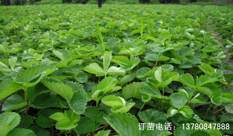 北京 小白草莓苗批发 白雪公主草莓苗订购图片