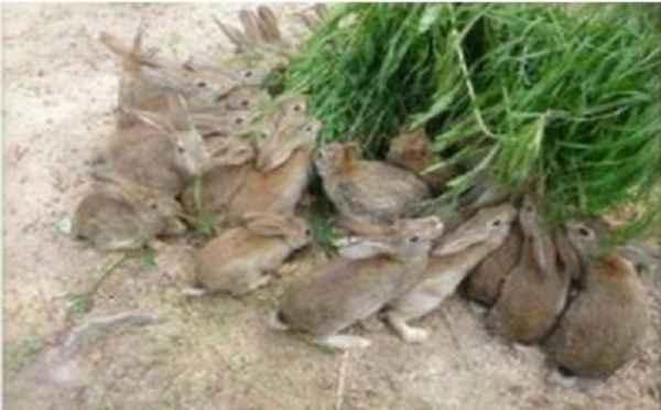 正顯兔免飼養
