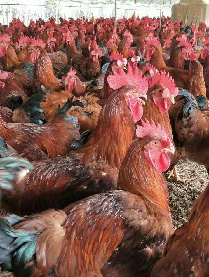 濟寧紅公雞苗費用 成活率高紅公雞苗