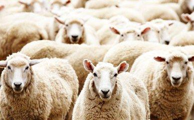 羊价稳中向好——2017年11月全国羊价