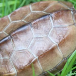 中華草龜苗 大小 草龜活體觀賞活體寵物長壽龜