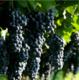供应 绿色无农药  好吃又不腻的藤稔葡萄