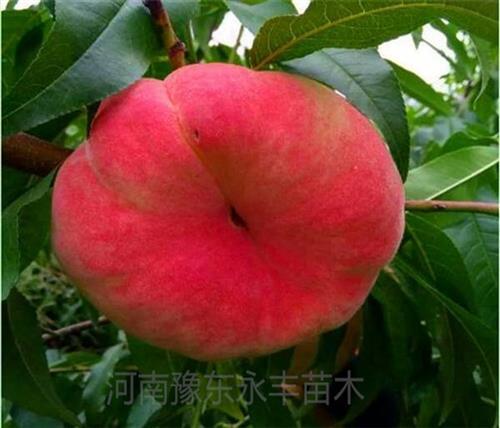 求购新品种桃苗,山西新品种桃苗,永丰种植桃苗基地(在线咨询)