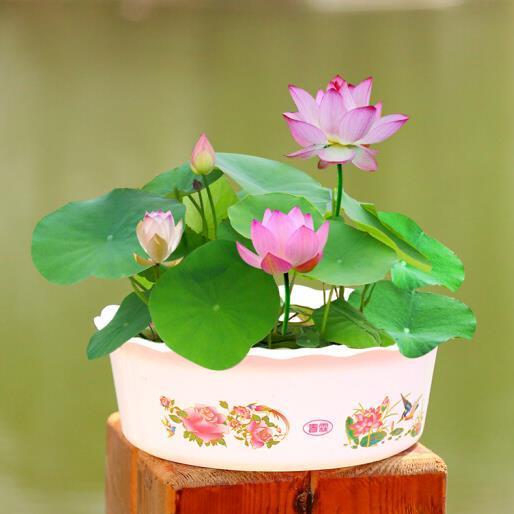 供应 碗莲种子迷你睡莲种子花卉水培植物 四季播种 20粒