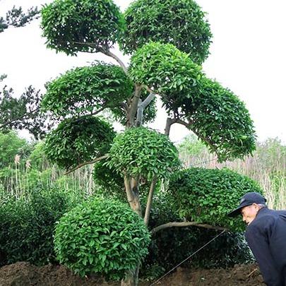 苏州造型小叶女贞 造型女贞 苏州别墅苗木种植基地 苏州树木市场