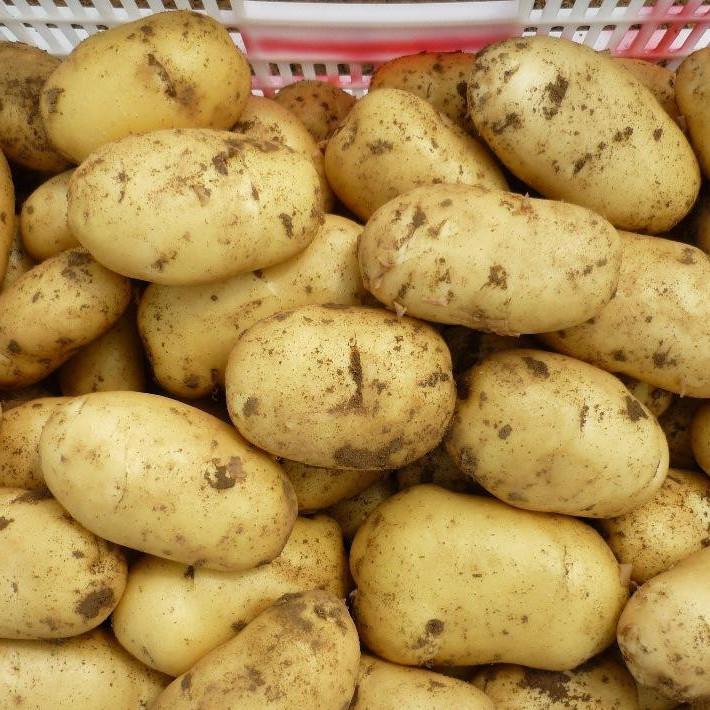 山东冷库荷兰十五土豆出库价格 量大从优