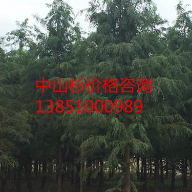 江苏11公分中山杉 江苏15公分中山杉