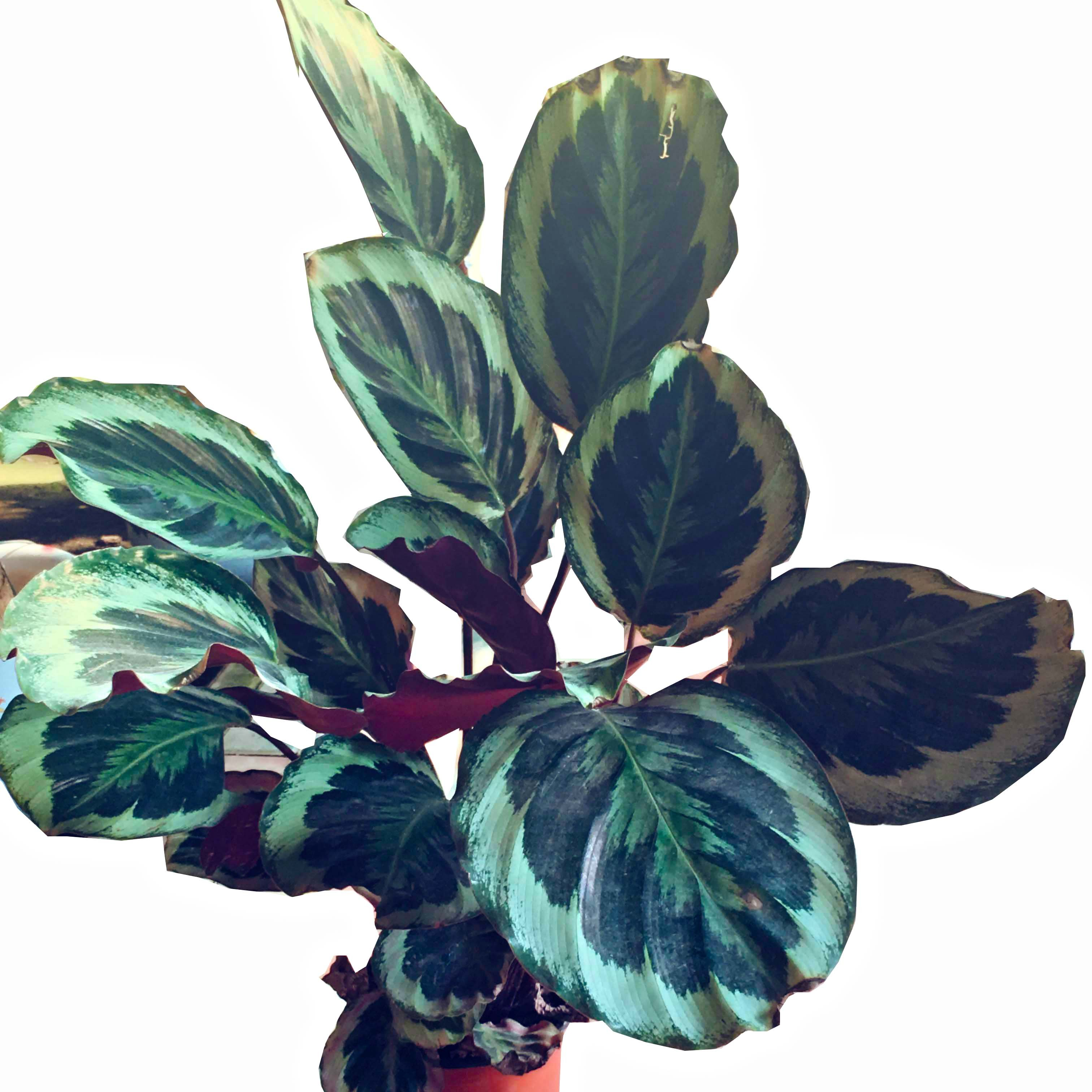 蓝达 绿植孔雀竹芋客厅室内观叶植物水培小盆栽办公室吸甲醛净化空气