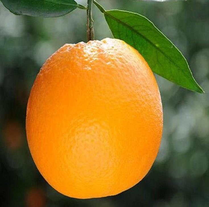 赣南脐橙送礼之佳品10斤装精品脐橙大果(85-100mm)新鲜橙子江西赣州赣南特产悦橙