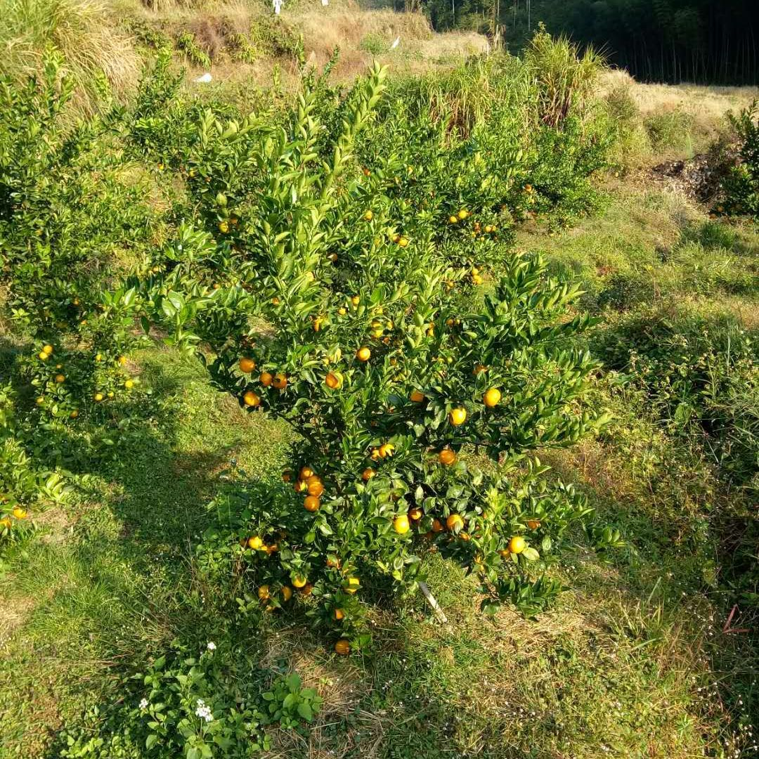 仁化县长江镇大量贡柑和砂糖橘上市