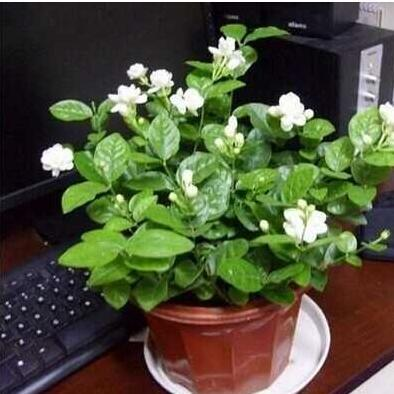室内芳香花卉盆栽种苗 白色 茉莉花 花苗 感受天然鲜花的香气