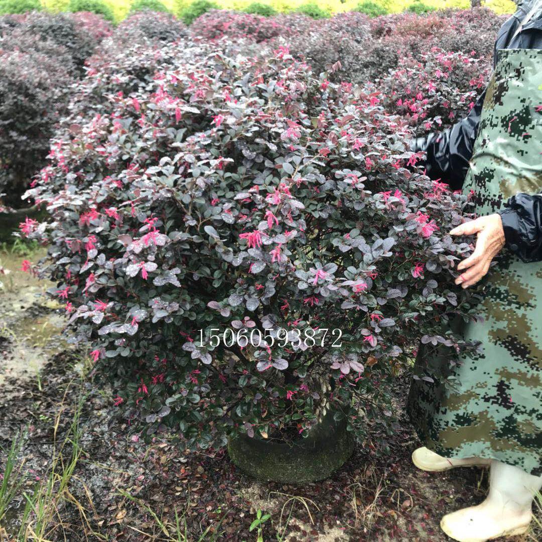 红花继木小苗大量供应 质优价廉 红花继木袋苗农户直销