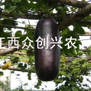 种植植物麝香瓜  创业致富好门路