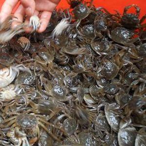 正宗蟹苗活体 优质大闸蟹苗 扣蟹苗鲜活养殖用小河蟹小螃蟹苗