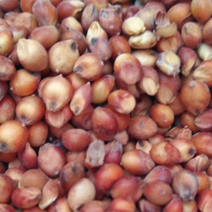 天津富牧原料公司批发进口红高粱  适合饲料  酒厂应用