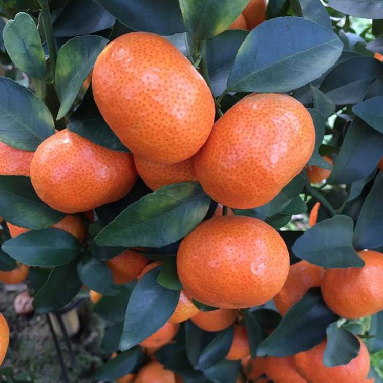 批发销售正宗荔浦砂糖橘水果下树沙糖桔清洗沙糖橘打蜡包装砂糖桔一条龙服务