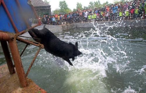 黑猪都会跳水你知道吗