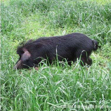 供应 雲茂法香猪 富硒猪肉 优质黑猪 藏香猪活体批发