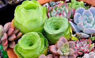 夏天多肉植物怎么养?种植效益有多高?