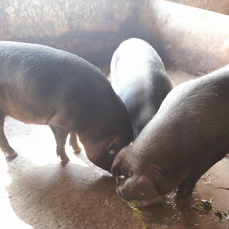 放养富硒土猪肉20元一斤新鲜生现杀一件代发