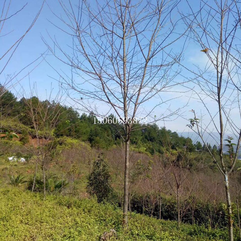 湖北山樱花供应商 湖北山樱花大型专业种植基地 湖北山樱花分支点多 成活率高