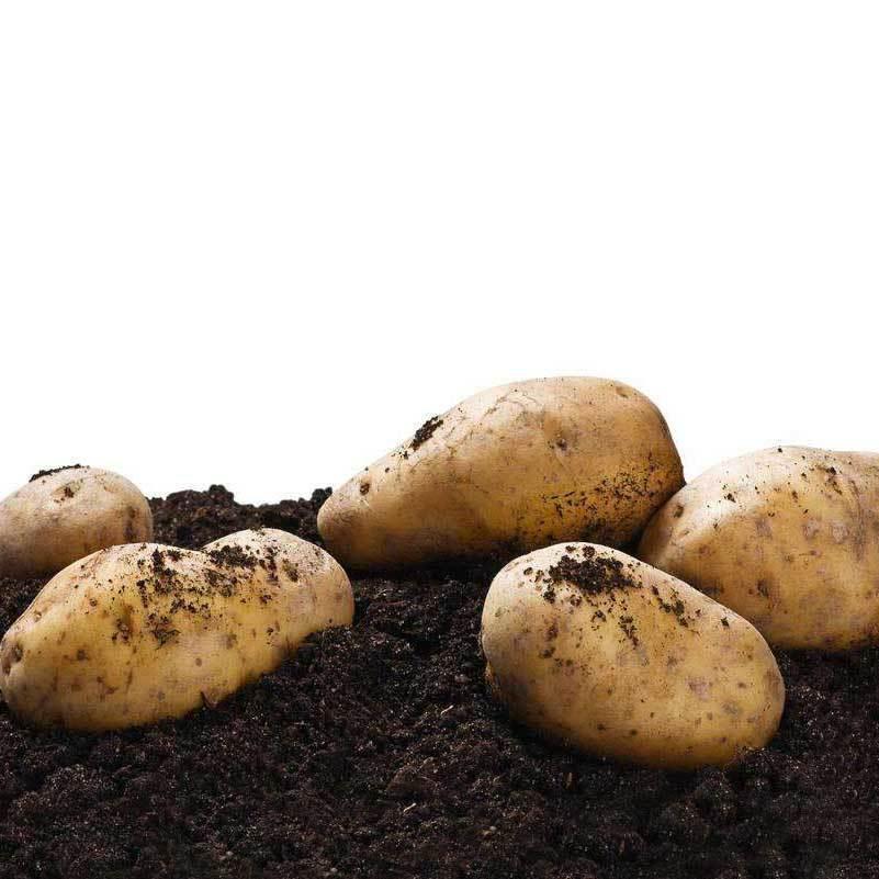 供应 土豆陕西土豆 马铃薯 洋芋