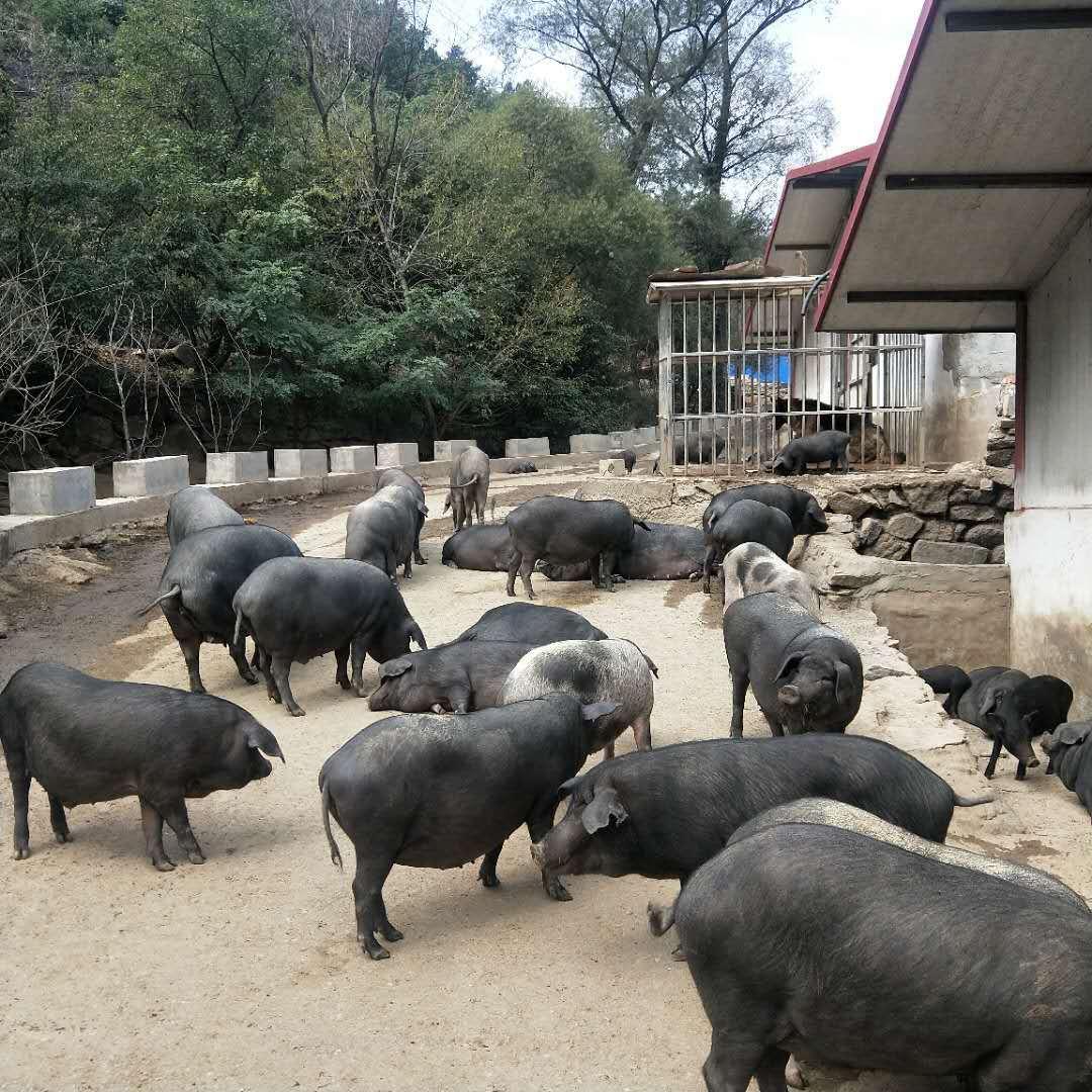 大耳黑猪和野山猪