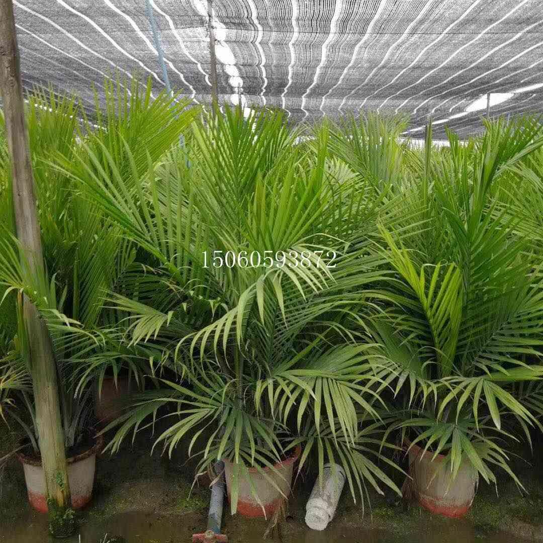 海南国王椰子供应 国王椰子盆栽高度1米 国王椰子质优价廉