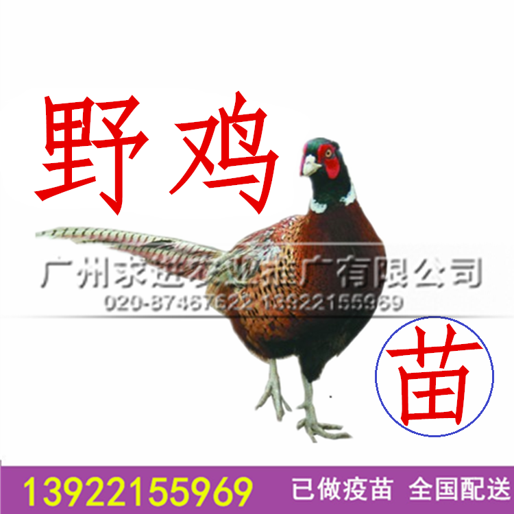 纯种山鸡种苗