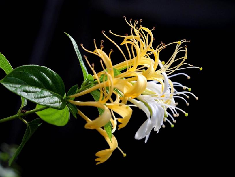 如何区分金银花的优劣?