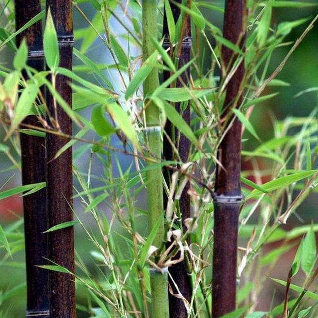 园林绿化竹子   紫竹1公分