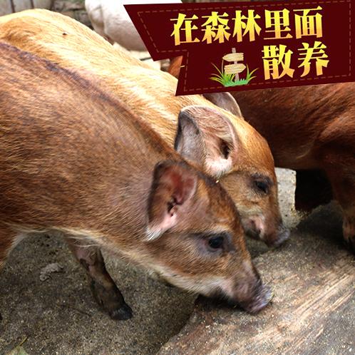 深山正宗野猪 特种猪肉 活毛猪