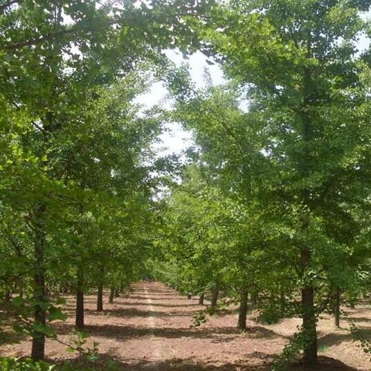 银杏树苗 金叶银杏树白果苗银杏苗庭院绿化苗木 占地苗木送生根粉