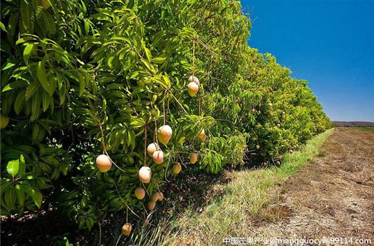 攀枝花将严格建立芒果品牌保护机制