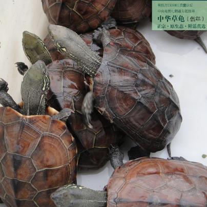 供应原生态中华草龟