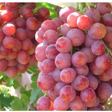 贵州绥阳金色阳光荔枝香  葡萄 新鲜水果 现摘现发