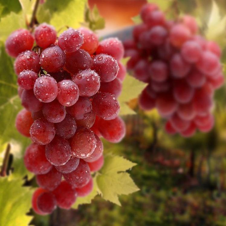 金色阳光庄园 克瑞森葡萄 新鲜水果 现摘现发 果园直销批发 香甜可口