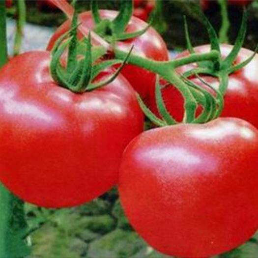 供应 新鲜自然熟西红柿新鲜蔬菜番茄 自然成熟新疆番茄原产地直供